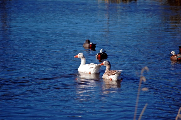 Geese with friends