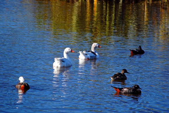 Geese and ducks