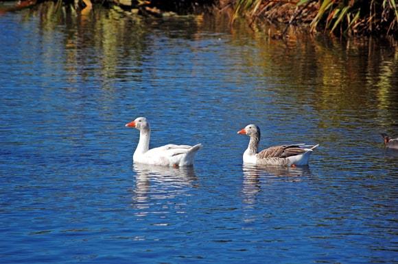 Geese still swimming