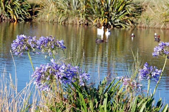 Agapanthus and water