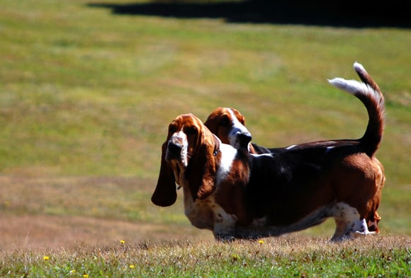 Bassets raring to go