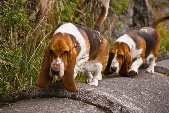 Bassets on the pipe route