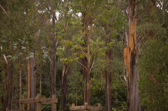 Eucolyptus trees