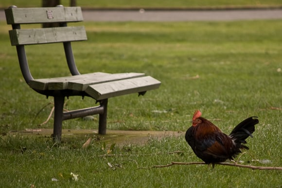 Chicken in the park?