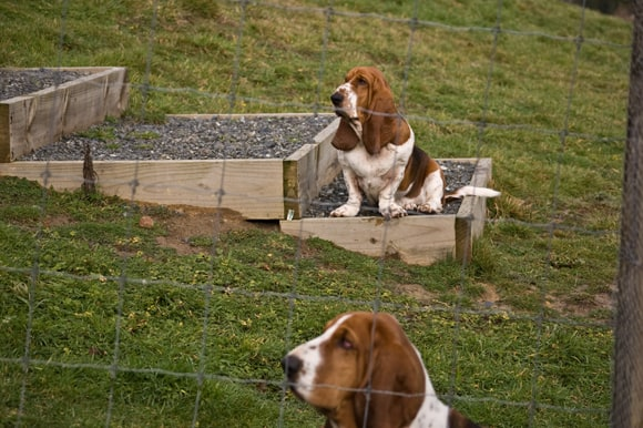 Basset viewing