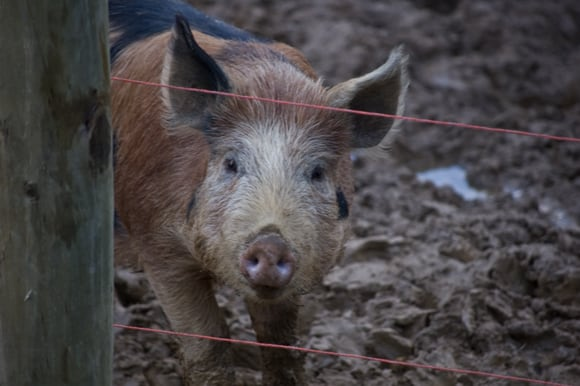 Swine - who me?