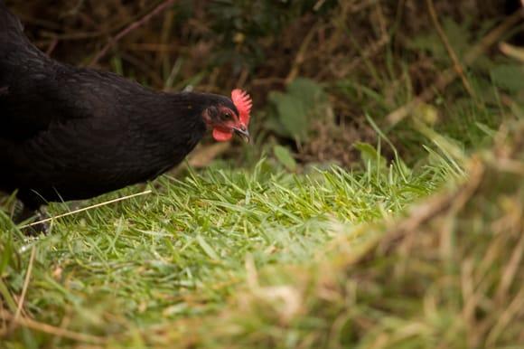 Chicken peek
