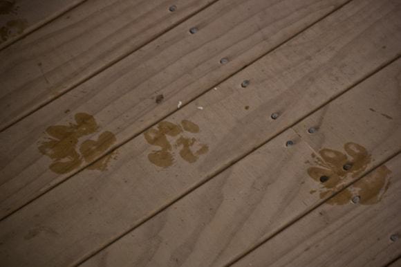 Basset paws