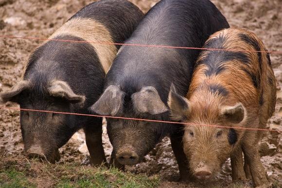 Pig huddle