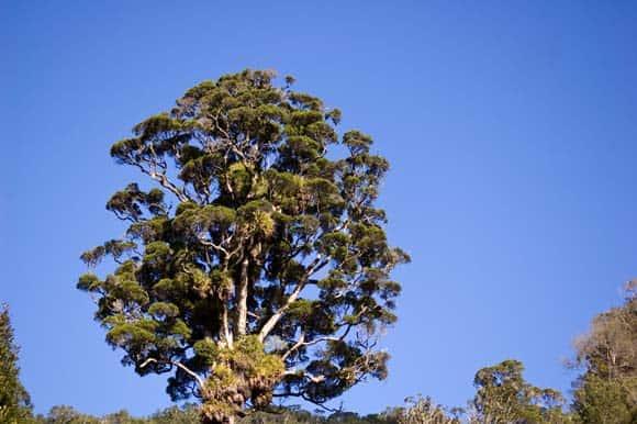 Round top tree