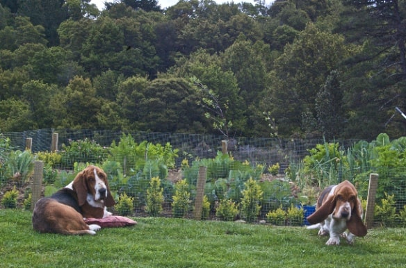 Bassets on guard