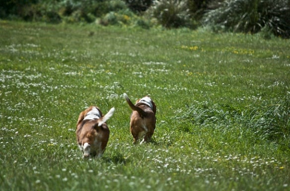 Bassets on the run