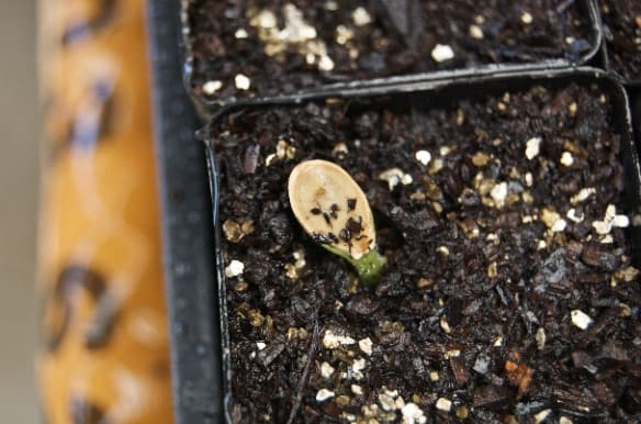 Germinating seed