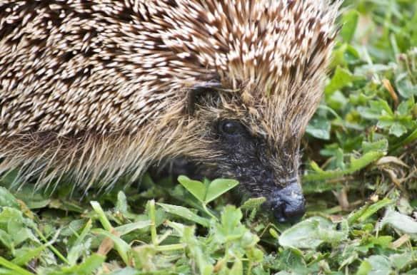 Hedgehog3