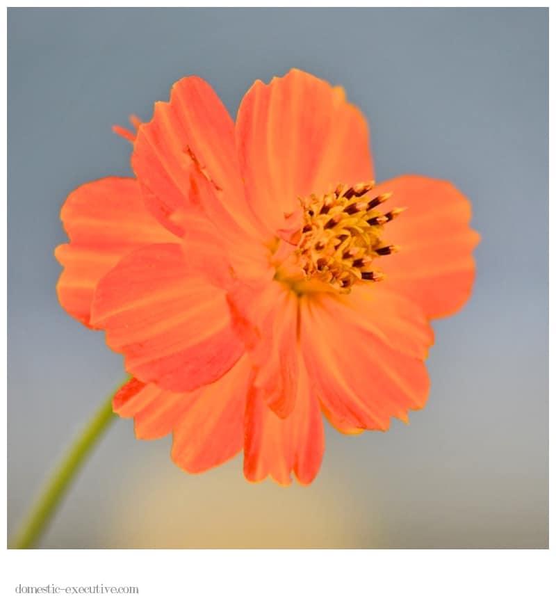 Marigold 022