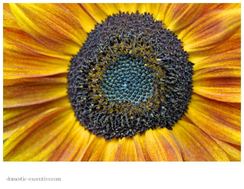 Sunflower 021