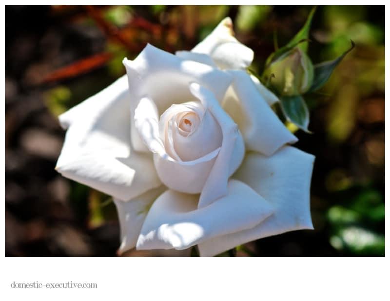 Rose 070